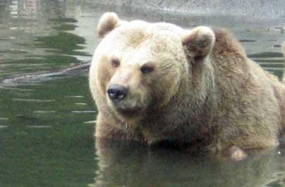Björn i vatnnet