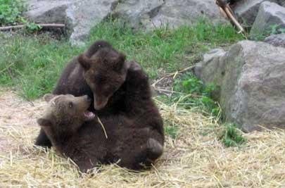 Björnungar brottas