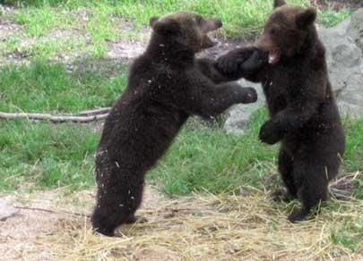 Björnungar bixas
